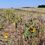 Guvernul va aproba măsuri suplimentare de susținere financiară a agricultorilor care au fost afectați de secetă