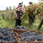 Situația din viticultură și vinificație discutată la ședința Consiliului filierei de produse