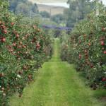Rusia ar putea în 5 ani să dubleze producția de mere