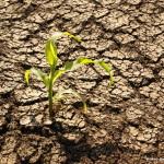 Ce bani vor primi fermierii din România pentru fiecare ha calamitat de secetă