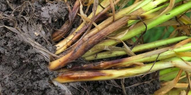 Мнение эксперта: Зачем отличать виды корневых и прикорневых гнилей?
