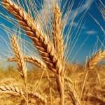 Recolta medie de grâu în Bulgaria: 3,9 t/ha