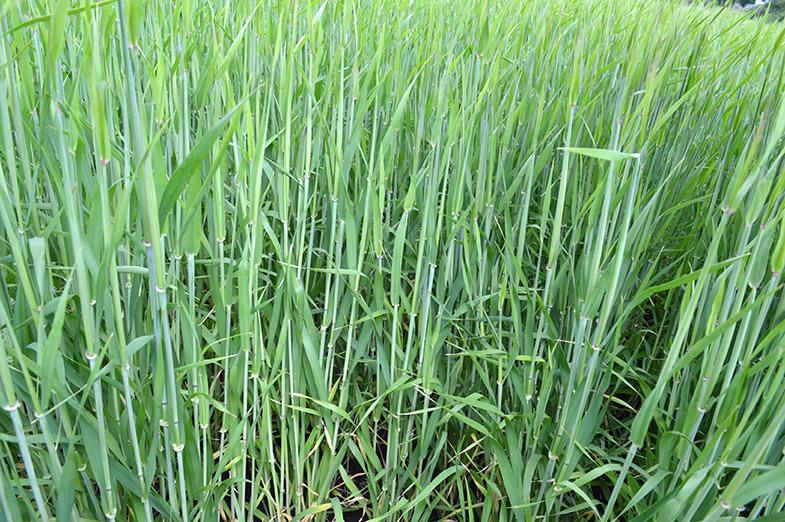 Foto 18 mai 2016. Orzul de toamnă tratat cu Systiva® (1 l/t) şi Kinto® Duo (2,5 l/t) nu este afectat de boli. Până la recoltare nu a mai fost aplicat nici un alt fungicid foliar.