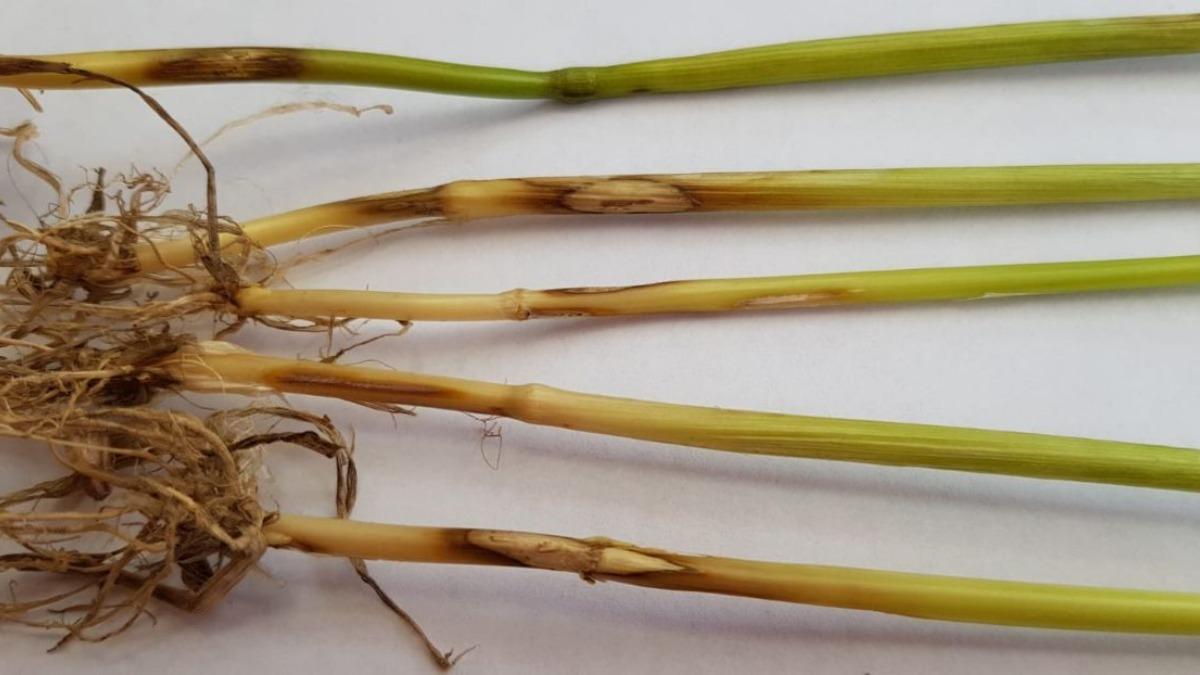 Ризоктониоз пшеницы