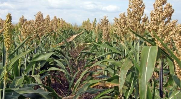 Creştere cu 18% a suprafeţelor cultivate cu sorg în Europa