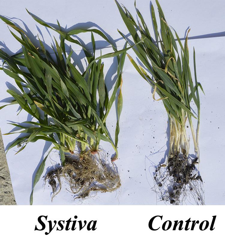 Orz de toamnă tratat cu Systiva® (1,2 l/t) + Insur® Perform (0,5 l/t) (stînga) şi orz de toamnă netrat (dreapta)