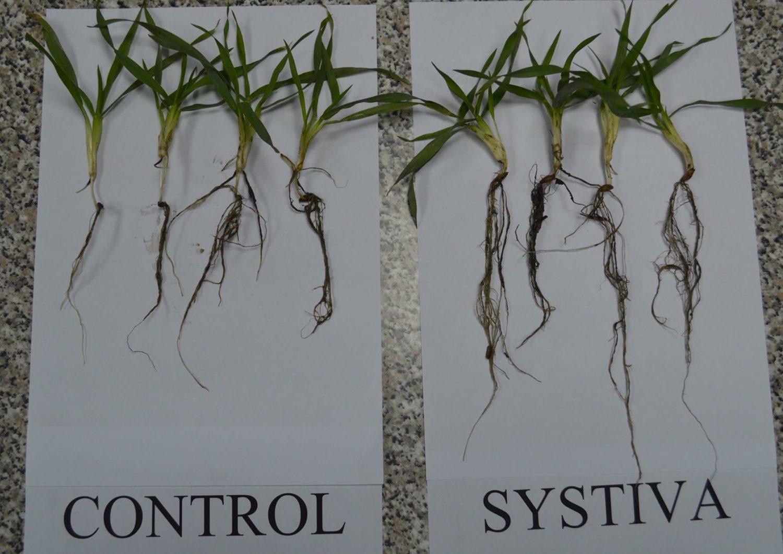 Orz de toamnă tratat cu Systiva® (1,0 l/t) + Kinto® Duo (2,5 l/t) (dreapta) şi orz de toamnă netrat (stînga)