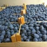 Primele prune moldovenești exportate în Italia