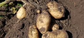 Картофелеводы вздохнули с облегчением: проволочнику придет конец!