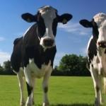 Statul va oferi bani pentru fermierii care cresc bovine, ovine și caprine