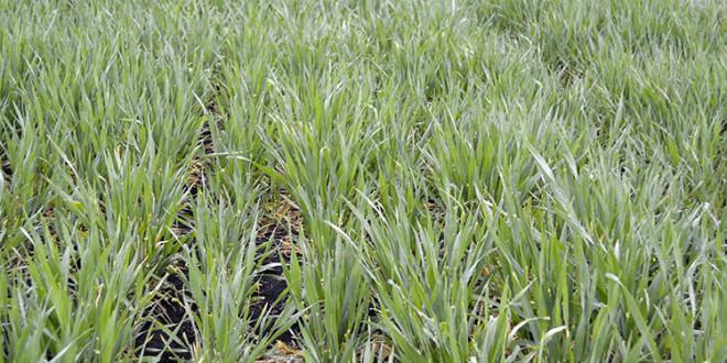 Avertizare fitosanitară de boli la grâu și orz – 30 aprilie – 7 mai 2021