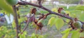 Avertizare fitosanitară de boli la sâmburoase – 3 mai – 10 mai 2021: monilioza