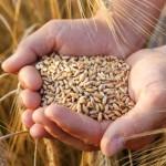 Prețul la grâu ar putea exploda la nivel internațional