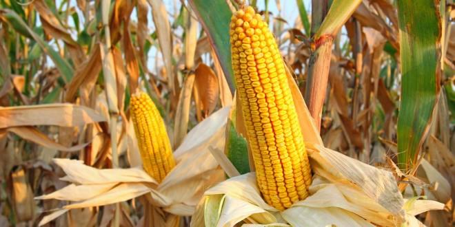 Медленный темп уборки кукурузы не позволяет снизить цены на зерновую — аналитики