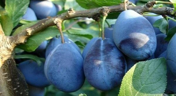 Republica Moldova a valorificat în acest sezon cota de export în UE la prune